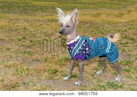 Chinese crested dog waits.