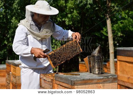 Beekeeper in a protective hat wearing on white shirt holding a frame of honeycomb with working bees