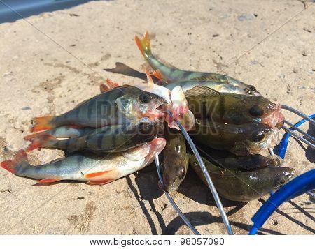 Many small perch. Catch fisherman perches.