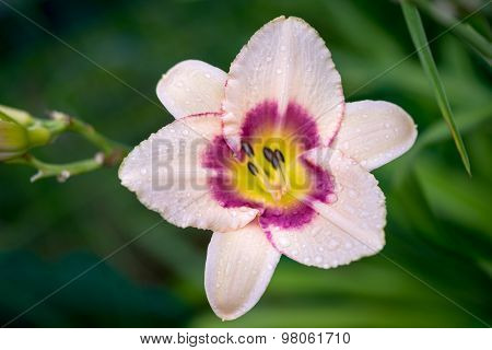 Mauve Daylily Blossom Genus Two-colored Hemerocallis