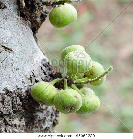 Ficus Racemosa Growing On Tree