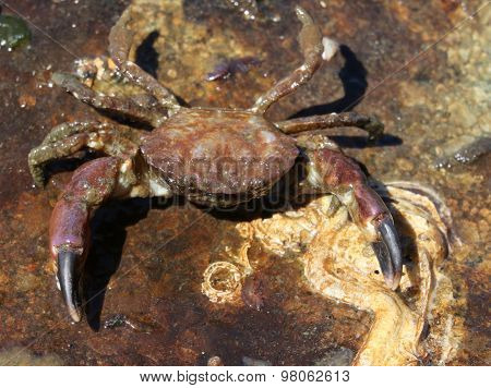 Black-Clawed Crab - Lophopanopeus bellus