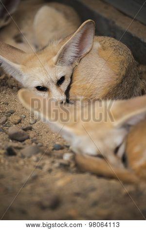 Fennec fox or Desert fox sleeping on the ground.