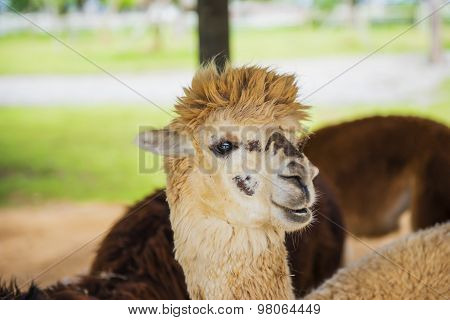 Funny Alpaca living in the farm ,Thailand.
