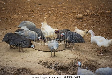 guinea fowl, rooster and duck eating in farm.