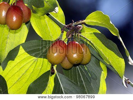 Dogwood On Branch