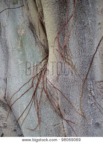 Close Up Of Trunk And Bark Of A Holy Asian Bodhi Tree