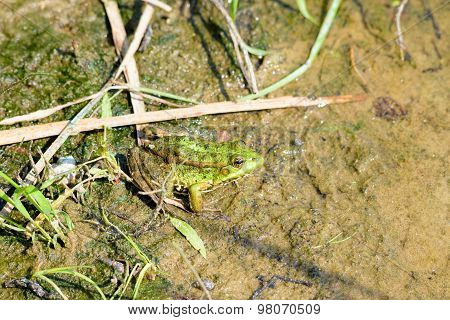 Green Frog In The River