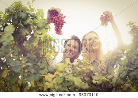 Young happy couple holding grapes in the grape fields