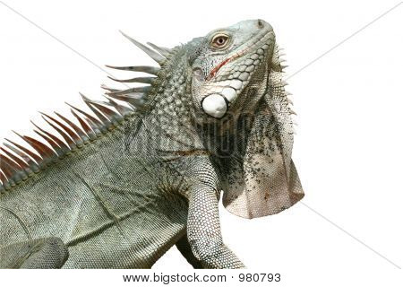 Iguana (Isolated)