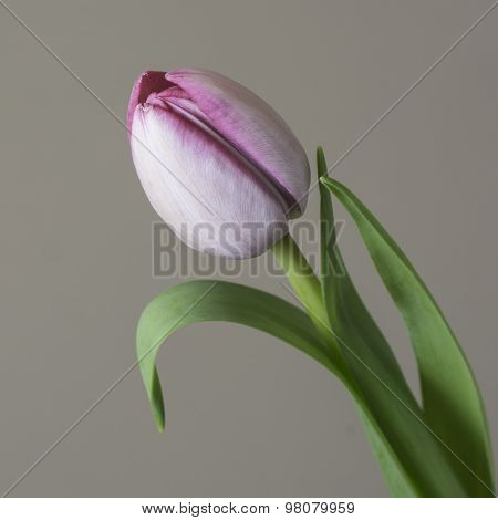 A close up a single tulip
