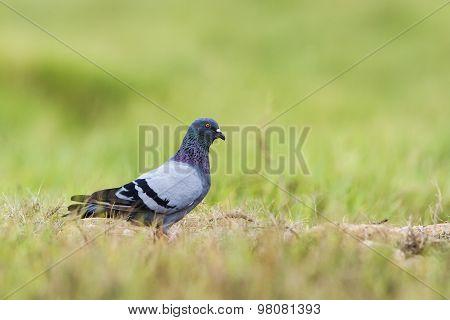Rock Pigeon In Pottuvil, Sri Lanka