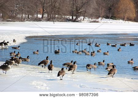 Geese At Lake In Winter