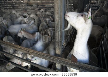 Herd Of White Goats Stand In Dimly Lit Stable With One Soloist