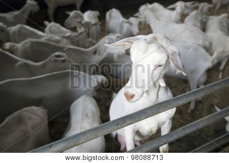 Portrait Of Domestic White Goat In Stable With Other Goats In The Background