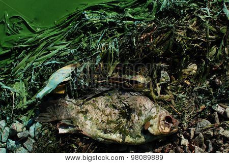 dead fish - environmental pollution