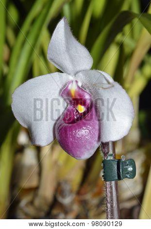 Delanat's Paphiopedilum Orchid