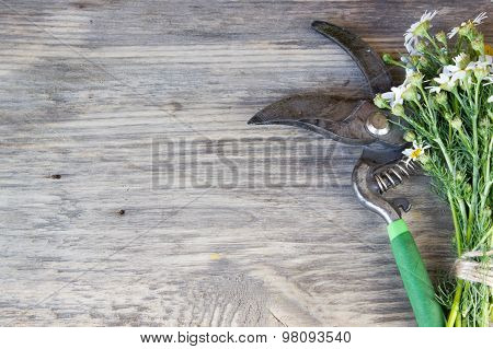 Bouquet Of Garden Small Camomiles And Pruner On Rustic Wooden Background With Copy Space