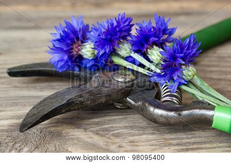 Cornflowers And Pruner On The Old Wooden Table, Rustic