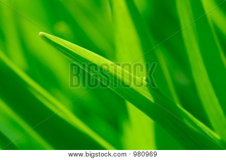 Grass Leafes