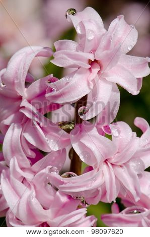 Spring Flowers In Dew Drops, Pink Hyacinths