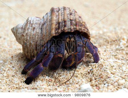 Purple Hermit Crab