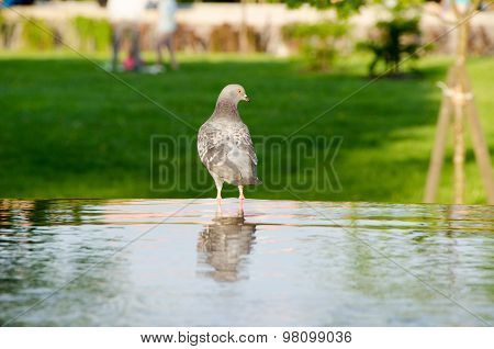 Dove Is Reflected In The Water