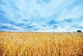 picture of track field  - wheat field in Crimea golden wheat in field - JPG