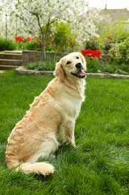 stock photo of labrador  - Adorable Labrador sitting on green grass - JPG