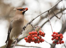 foto of mountain-ash  - Waxwing with berry of mountain ash on branch