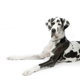 picture of great dane  - great dane harlequin sitting in front of white background - JPG
