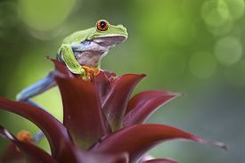 stock photo of animal eyes  - Red eyed tree frog in the Costa Rica rain forest - JPG