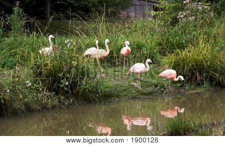 Reflektierte Flamingos