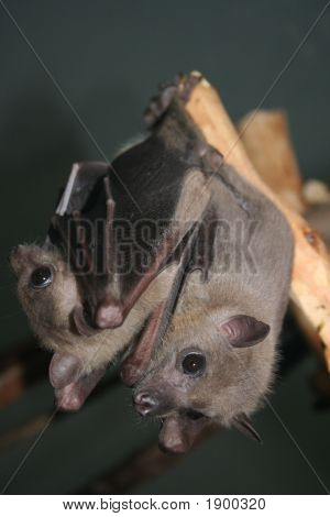 Two Bat'S Hanging On The Branch