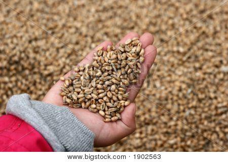 Corn Fleld Harvest
