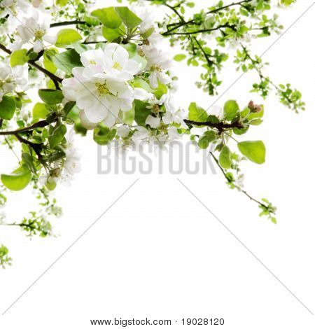 Apple Blossom Over White