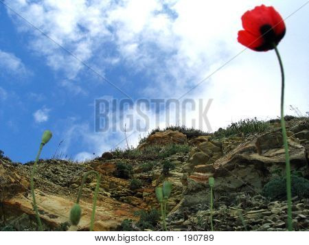 Red Flower On Rock