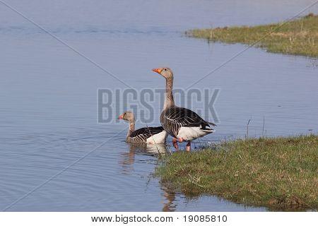 Greylag Goose Couple.