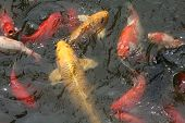 picture of coy  - Multi colored coy fish fighting for food in overcrowded pond - JPG