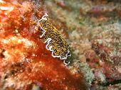 stock photo of flatworm  - this species has rough spotted body - JPG
