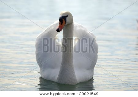 Elegant white swan