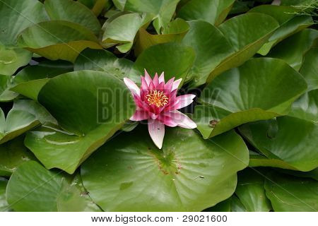 Deep pink Lilly flower floating in a pond with lilly pads