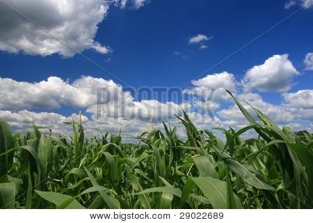 Ladscape at springtime with corn field and fluffy clouds