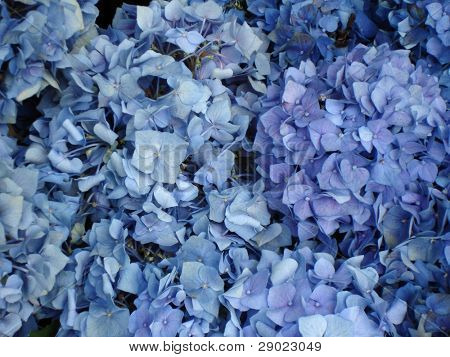 Blue flower of hortensia
