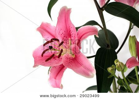 Pink lillies on white