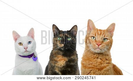 poster of Three Cats In A Row Isolated On White. White Cat With Heterochromia, Black And Orange Cats.