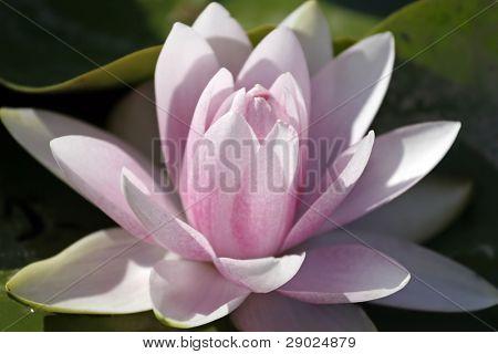 Deep pink Lilly flower