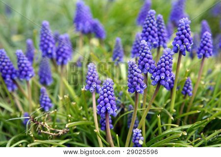 Blue bell flowers, shallow depth of field