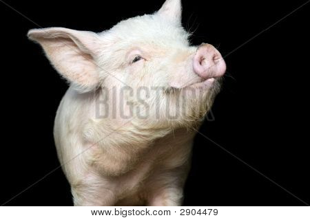 Portrait Of A Cute Pig