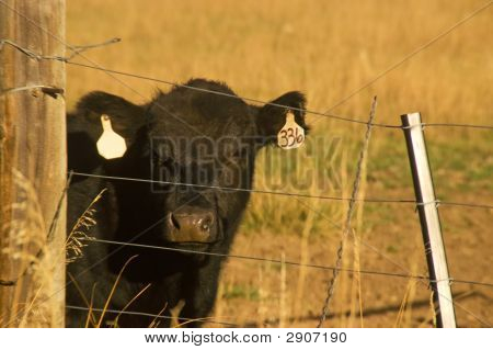 Black Angus Beef Cow In Field